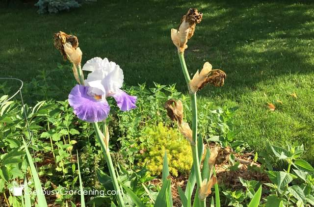 Iris before pruning