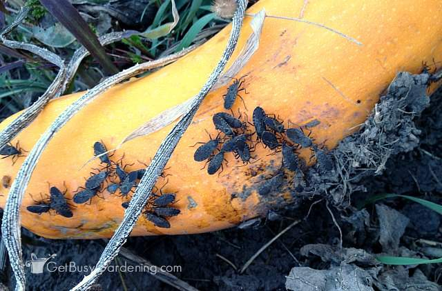 Nasty squash bug infestation
