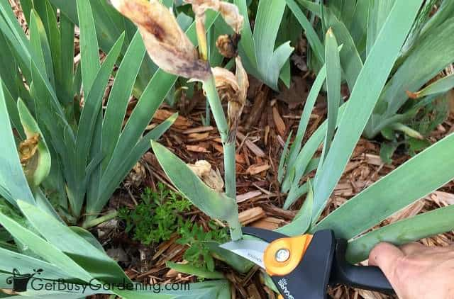 Pruning back faded iris flowers