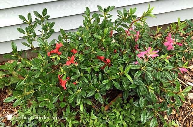 Azalea shrub growing in partial shade