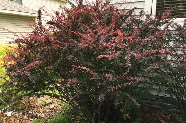 Barberry partial shade shrub