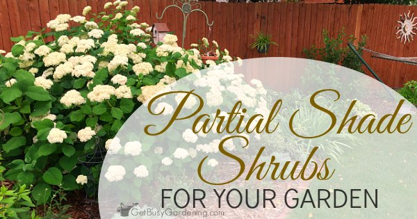 Partial shade shrubs for your garden get busy gardening mightylinksfo
