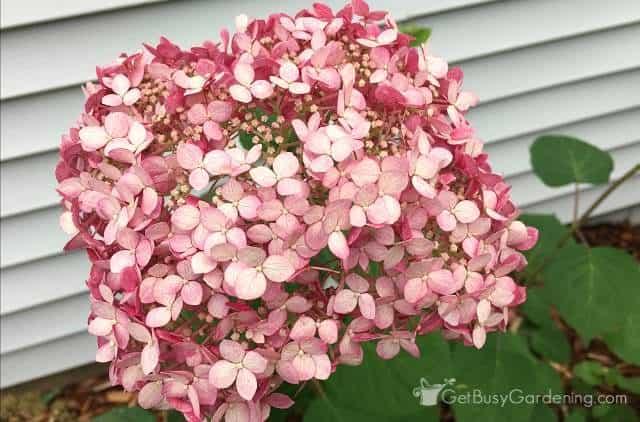 Pink hydrangea shrubs for partial shade