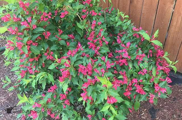 Weigela partial shade shrub