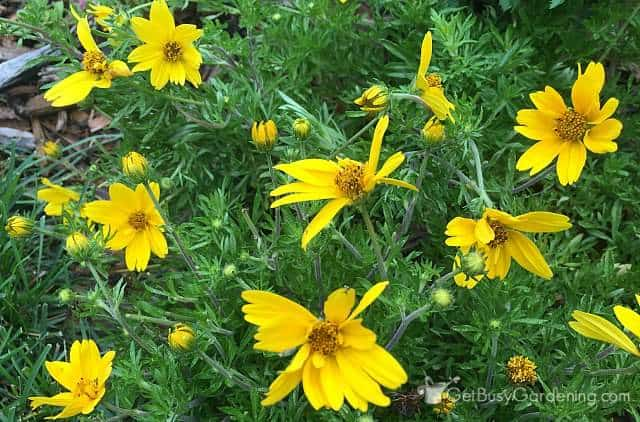 Bidens Popstar yellow annual flowers