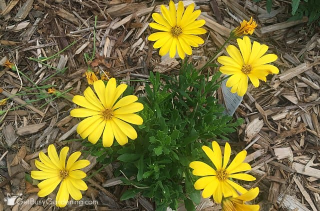 Bright Lights Yellow African daisy from Proven Winners