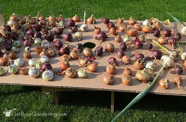 Curing onions after harvesting