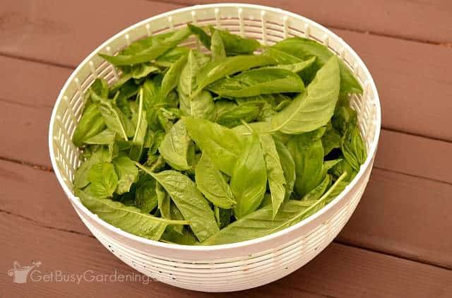Fresh harvest of basil leaves