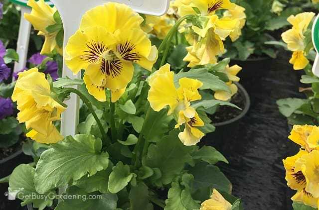 Frilly Yellow pansy from Thompson & Morgan