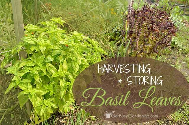 Harvesting and storing basil leaves