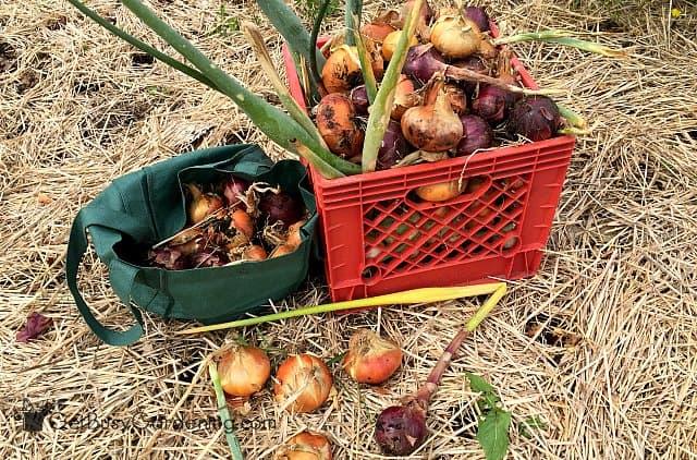 Huge onion harvest