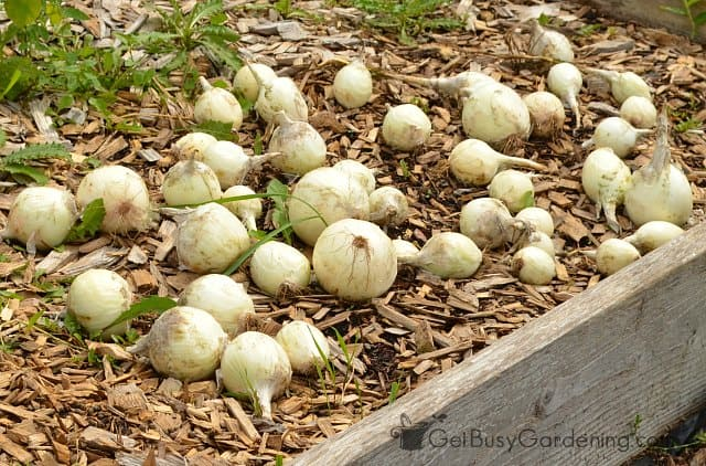 Leave onions in the garden