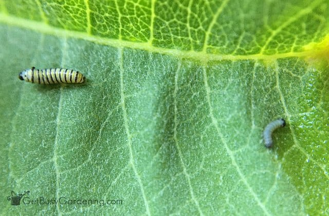 Monarch caterpillars hatched a few days apart