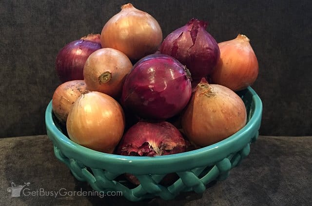 Onions ready for storage