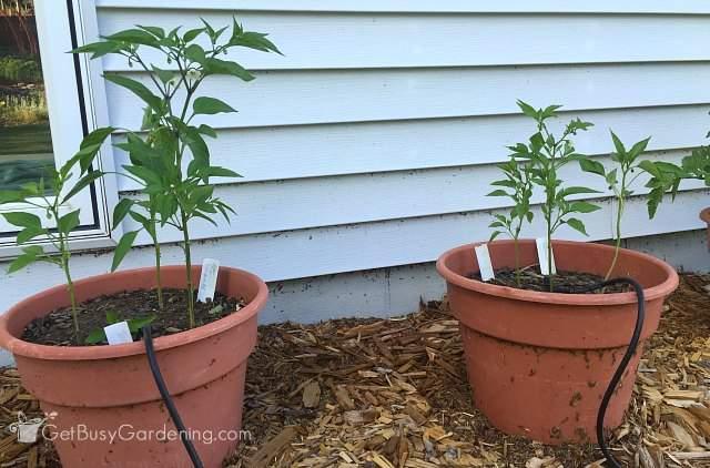 Pepper plants side by side June 27th