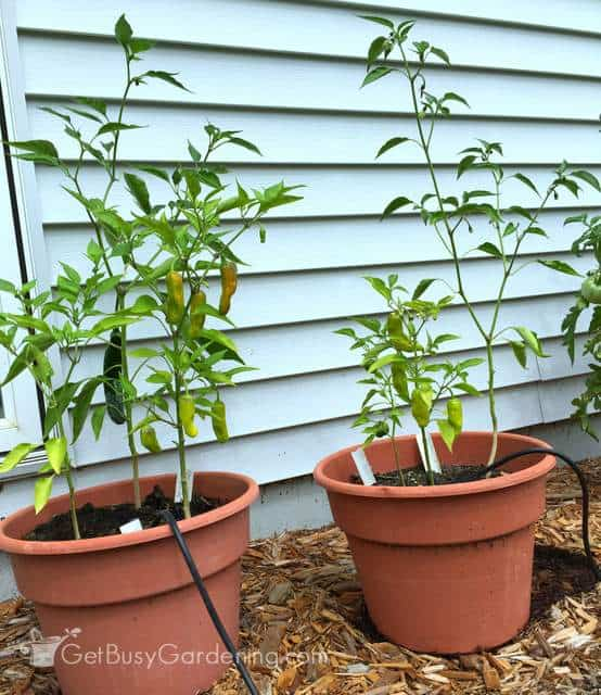 Pepper plants side by side August 12th