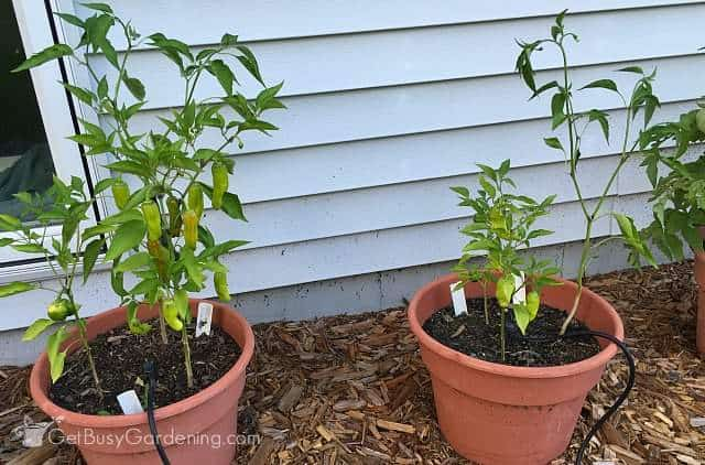 Pepper plants side by side August 2nd