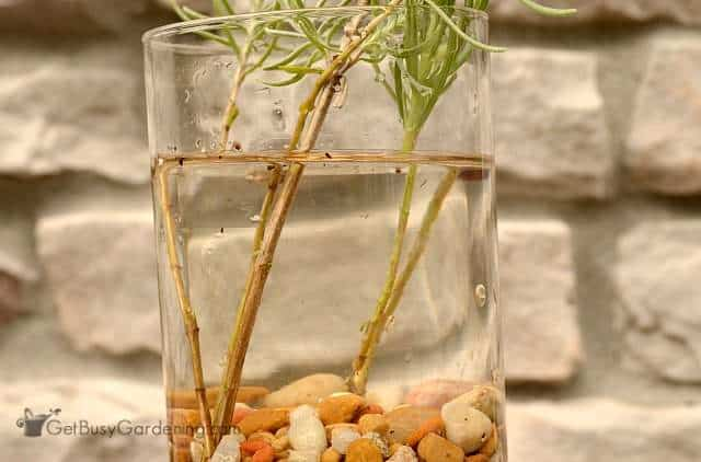 Propagating lavender cuttings in water