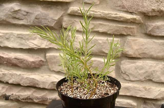 Propagating lavender in soil