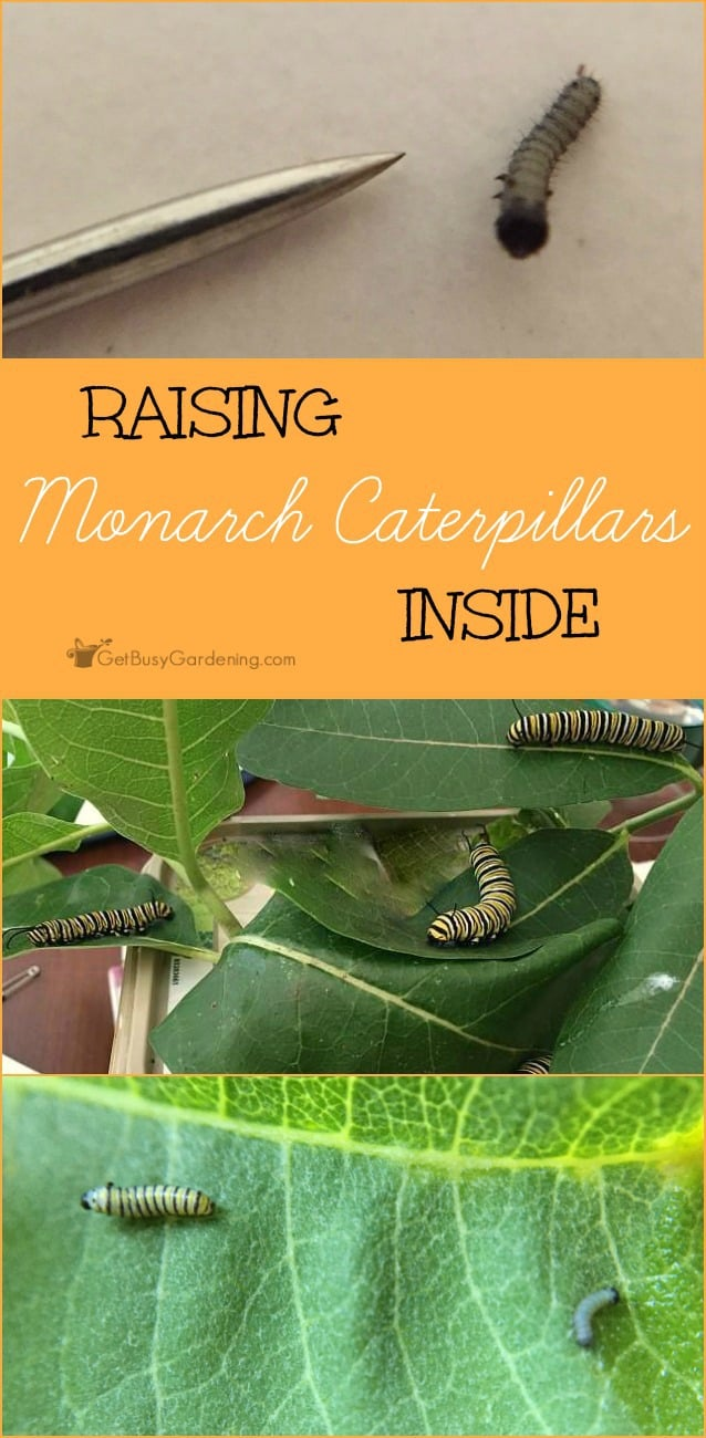 I have a new hobby this summer, I'm raising monarch caterpillars in my house! It's tons of fun, and super easy too.