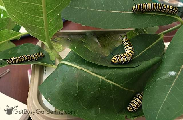 Raising monarch caterpillars inside