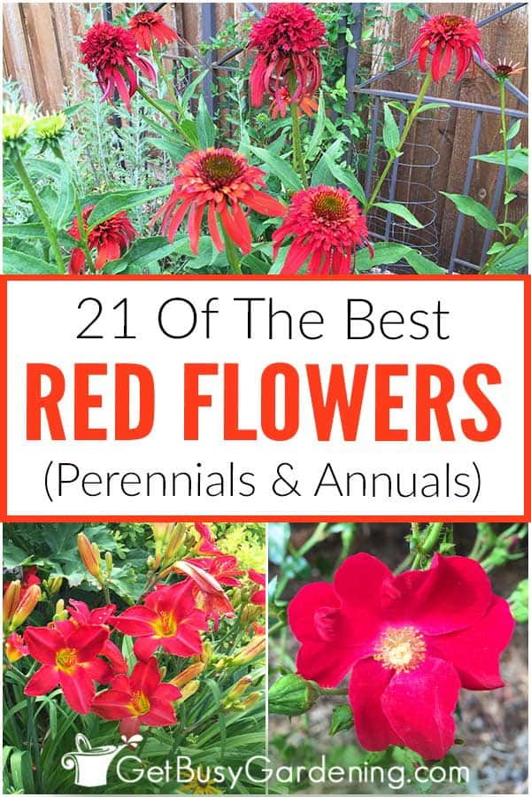 21 Of The Best Red Flowers (Perennials & Annuals)