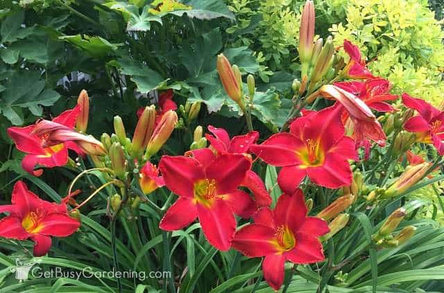 Red perennial flower obsession get busy gardening red lily flowers mightylinksfo