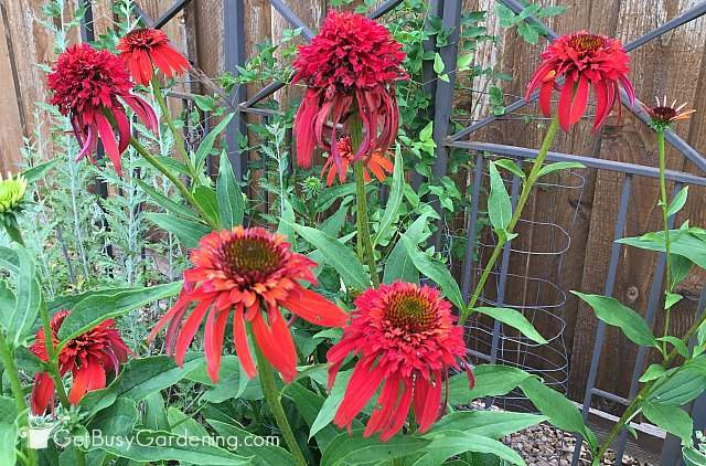 Red perennial coneflower
