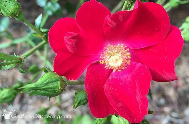 Rose red perennial flower