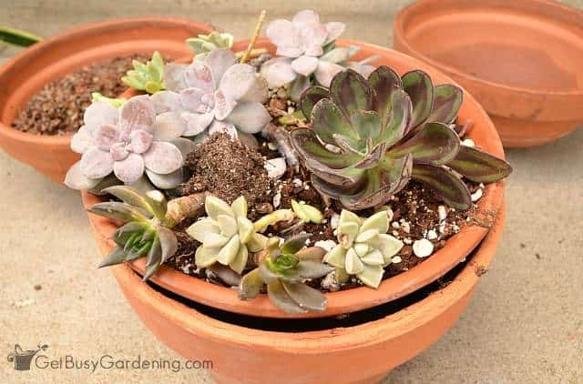 Succulents ready to be potted up