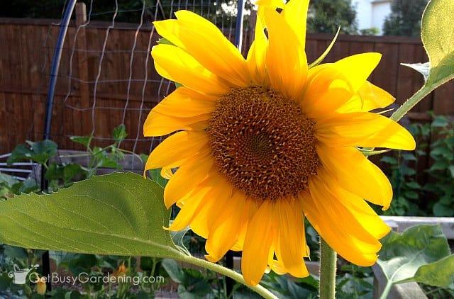 Sunflower yellow annual flowers