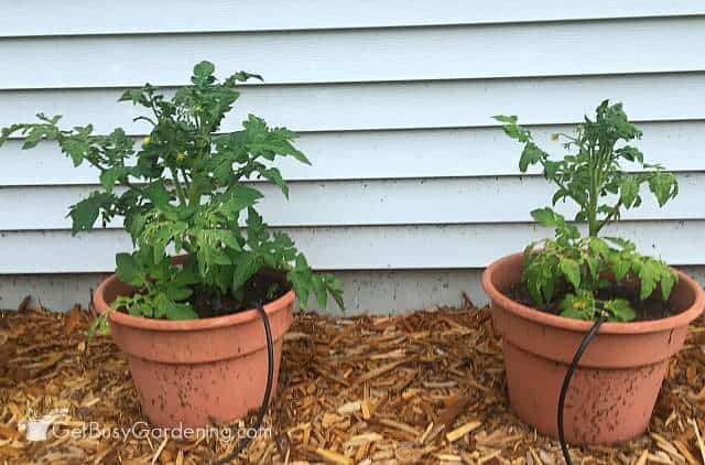Tomato plants side by side June 17th