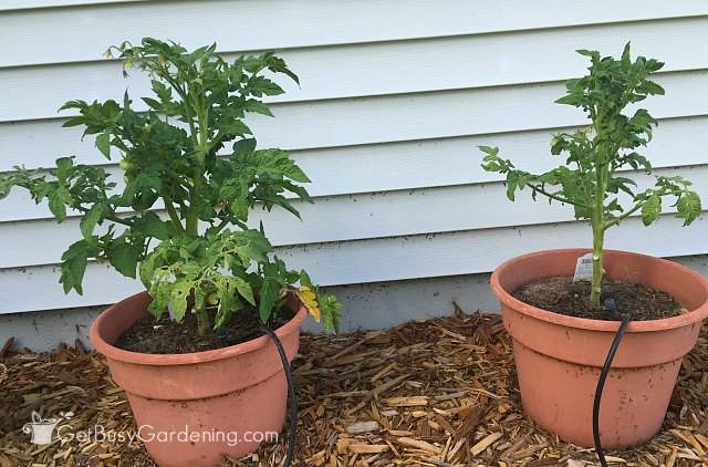 Tomato plants side by side June 27th