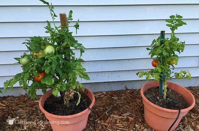 Tomato plants side by side August 2nd