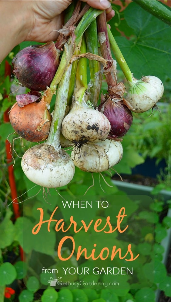 Knowing when to harvest onions will ensure you will have the largest, healthiest onion harvest possible from your garden.