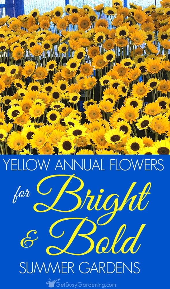 Yellow annual flowers are bright and cheery, who doesn't love them? Here's a list of some of my favorites that add bright and bold color to summer gardens.