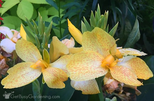 Yellow canna lily annual flowers