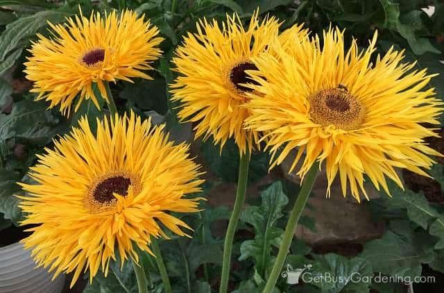 Yellow gerbera annual flowers