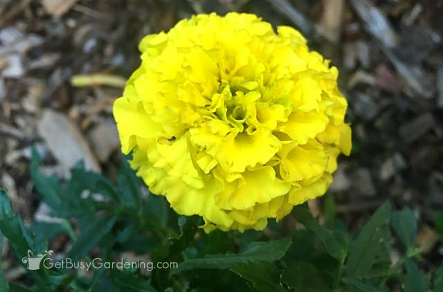 Yellow marigold annual flower