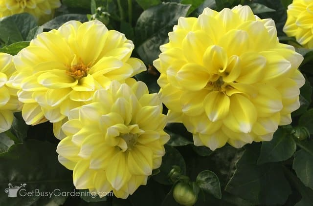 Yellow Tipped White Starsister dahlia from Hem Genetics