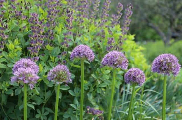 Allium Flower Bulbs Mixed With Perennials