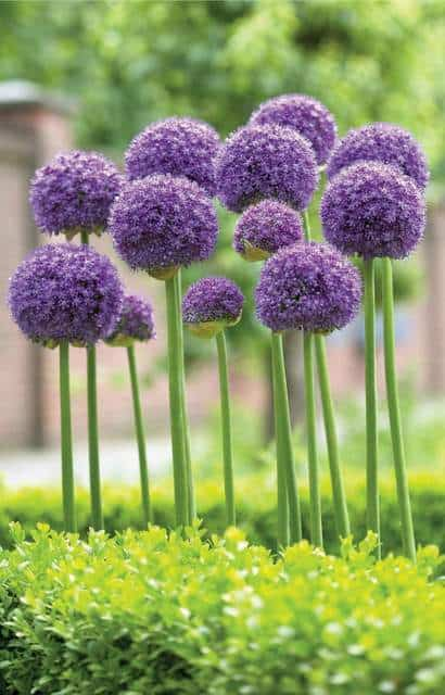 This fall I'm mixing alliums into my perennial gardens, and I'm super excited because they might just be the perfect flower garden bulb.