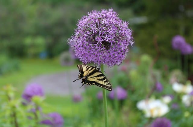 Allium flowers attract beneficial insects