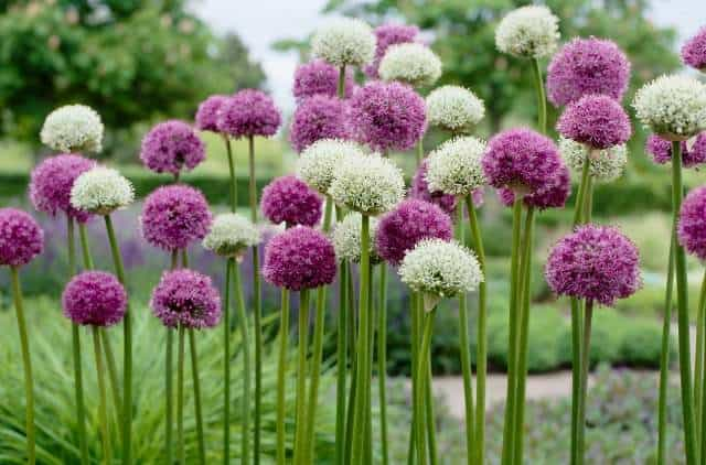 Alliums are the perfect flower garden bulb