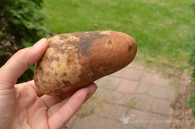 Check potatoes for rot before storing them