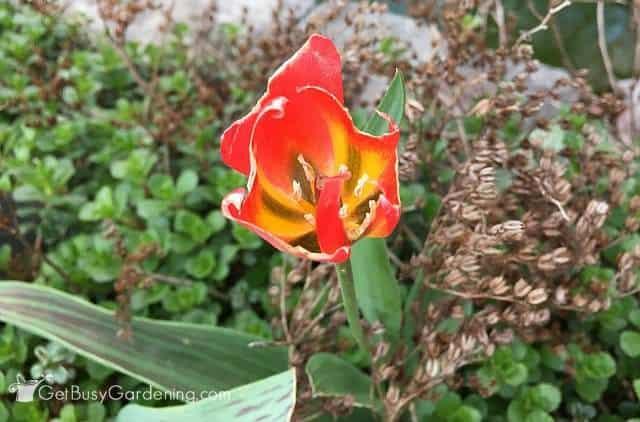 Chomped tulip flower - those darn bunnies!