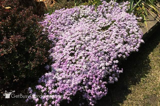 Creeping phlox makes a great flower bulb cover plant