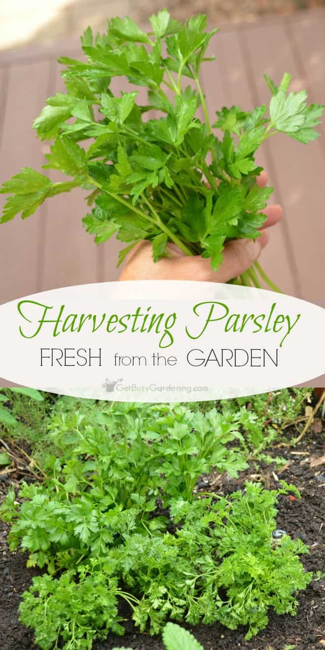 Parsley is an easy to grow, cold hardy herb you can enjoy all summer. Harvesting parsley is easy, cut or pinch off each sprig at the base of the plant.
