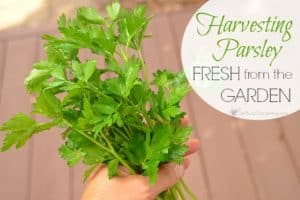 Harvesting Parsley Fresh From The Garden