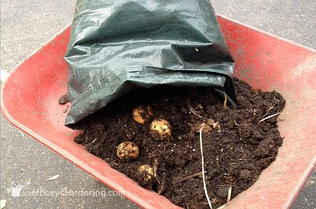 Harvesting potatoes growing in a container